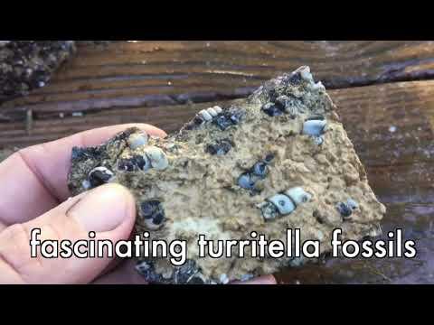 Fascinating Turritella Fossils 2018