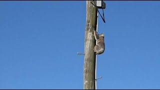 Koala stuck up power pole for two days during heatwave rescued with cherry picker