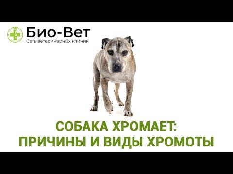 Собака Хромает:  Причины И Виды Хромоты & Что Делать Если Собака Хромает.  Ветклиника Био-Вет