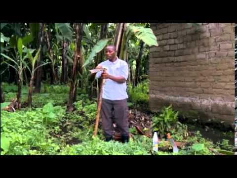 Video Symptoms and control of banana xanthomonas wilt disease (BXW)