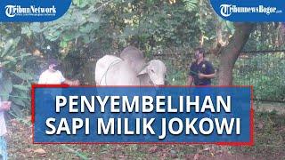 Sapi Kurban Milik Presiden Jokowi di Masjid Kebun Raya Bogor Disembelih H+3 Idul Adha