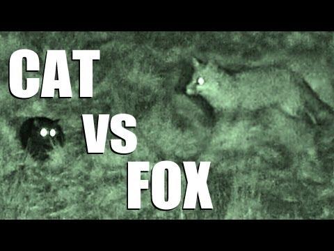 Fieldsports Britain – Cat vs Fox – night vision in action
