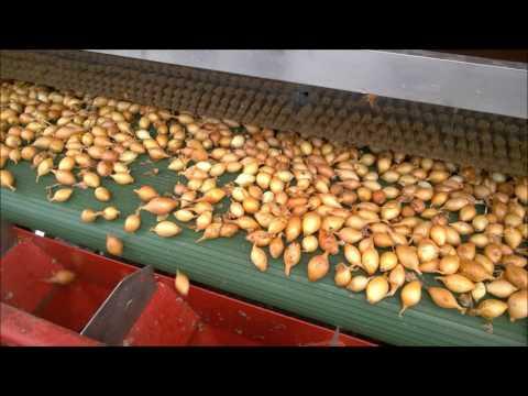Sadzenie cebuli dymki sadzarką DELTA / Sets onion planting / Uien planten / Zwiebel Pflanzen