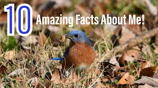 10 Amazing Facts About The Eastern Bluebird