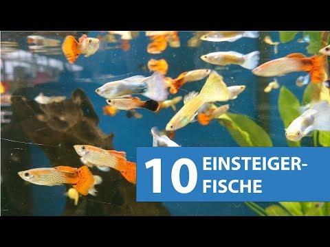 10 Aquarium Fische für Anfänger