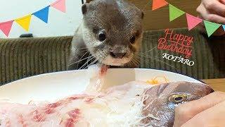 カワウソ コタロー 誕生日おめでとう!鯛の姿造りと刺身盛に大興奮!! Kotaro the Otter Happy 1st Birthday! - dooclip.me