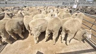 Mount Gambier Lamb Market Report - 9th December 2015