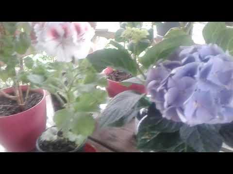 Комнатные цветы летом , уход и подкормка, советую не пропустить .