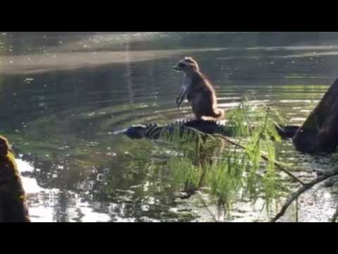 Brave Raccoon stands on an alligator
