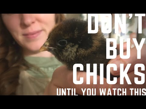 , title : 'Everything you need to know before buying chicks!