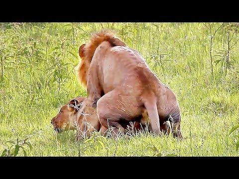 Đến sư tử còn bị