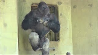 Смотреть онлайн Горилла агрессивно себя ведет в зоопарке