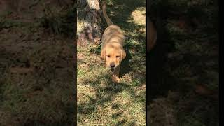 Fox Red Hunting Lab Puppies