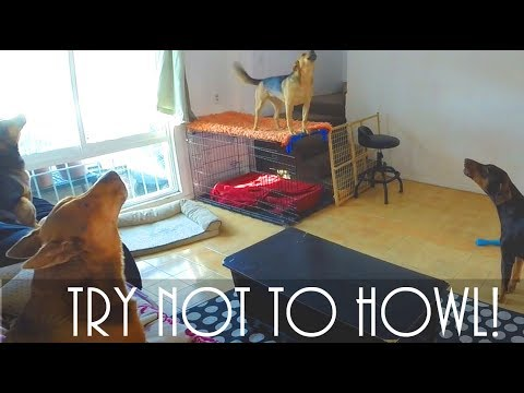 Guaranteed To Make Your Dog Howl! Try Not To Howl Challenge