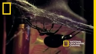 Black Widow Spider - Mating Ritual (Cannibalism)