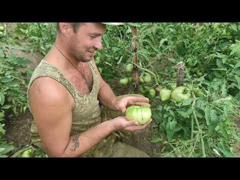 Помидоры гиганты. Результаты урожая помидор высаженных в открытый грунт на севере востоке Беларуси.
