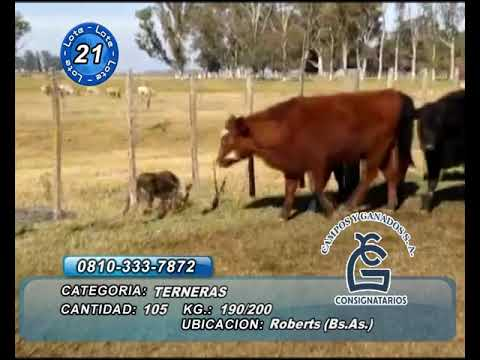 Lote Hembras - Roberts