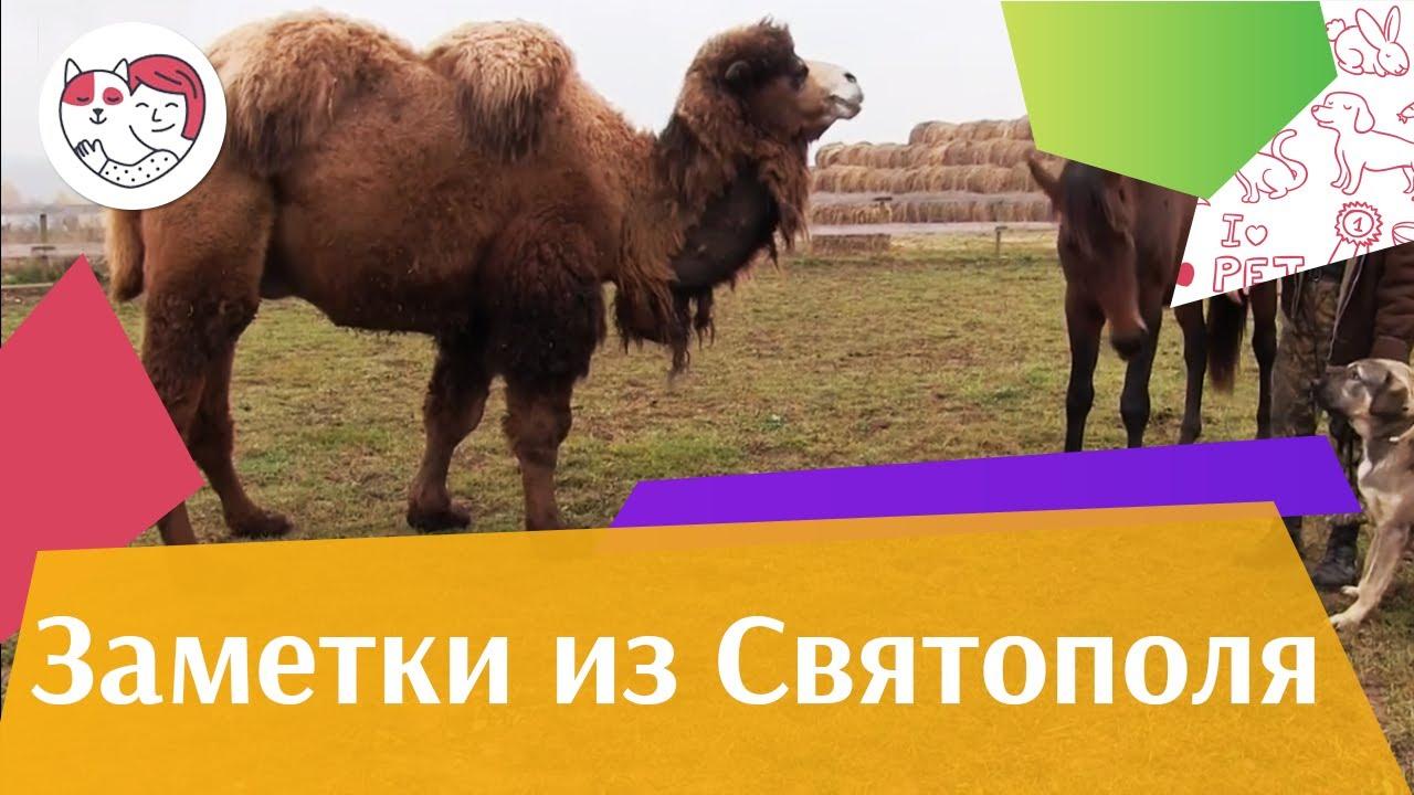 ЗАМЕТКИ ИЗ СВЯТОПОЛЯ выпуск 3 Верблюд  ilikepet