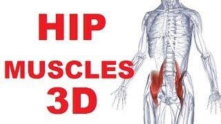 Hip Anatomy - Iliopsoas Muscle