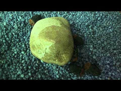 красногрудый мертвоед (Oiceoptoma thoracica)