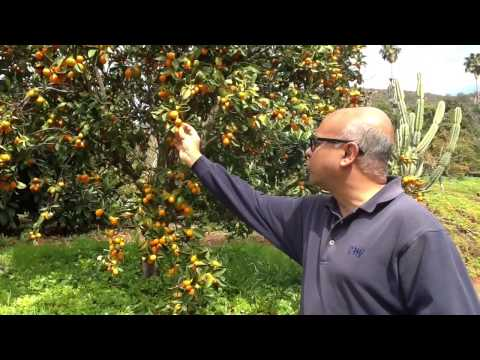 Organic Kumquats – Harvest of the Month – San Diego Farm to School