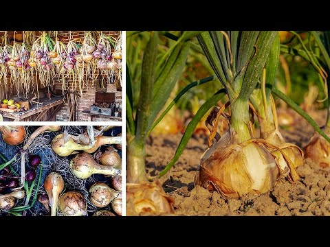 , title : 'Growing Onions from Sowing to Harvest