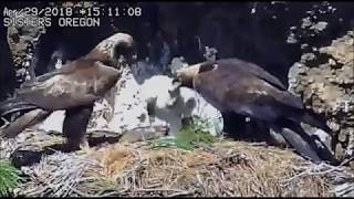 Golden Eagles in Oregon - 4/29/18 - Rocky in with food, Petra follows him in and feeds the eaglets