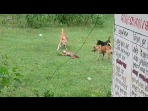 Fox Attacked By Dogs....