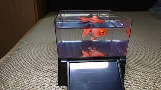 實拍光能金魚