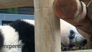 今日のシャンシャン10月15日上野動物園香香パンダ