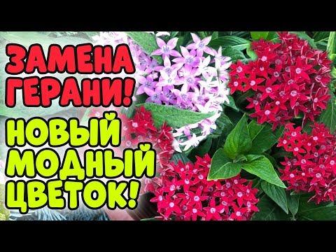 НОВЫЙ МОДНЫЙ ЦВЕТОК - ПЕНТАС!