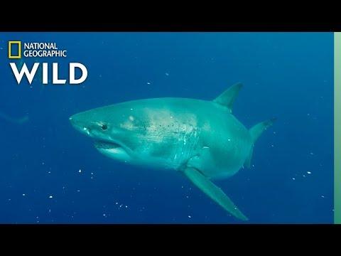 World's Biggest Great White? | SharkFest