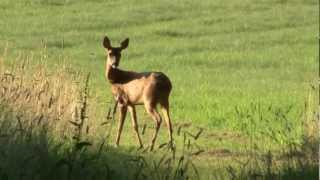 How to call in roebuck in the rut