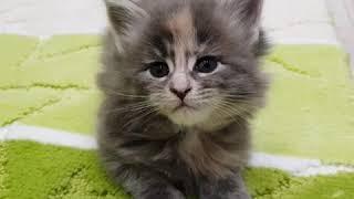 Купава (32 дня) Котёнок мейн-кун окрас: голубая мраморная черепаха (mco g22)