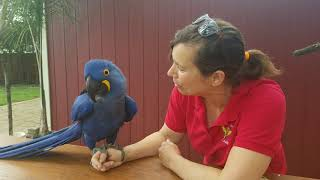 Hyacinth Macaw loves his Mom