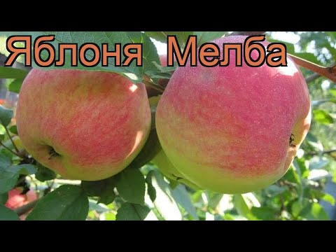Яблоня поздняя Мелба (malus melba) 🌿 поздняя яблоня Мелба обзор: как сажать, саженцы яблони Мелба