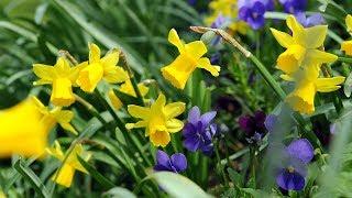 How to grow Daffodils | Crocus.co.uk