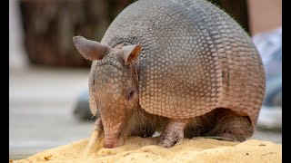 Zoo to You with Dillo, our Armadillo!