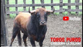 Desembarque Toros puros Los Hnos. Cumplido M. Procedencia Ganadería de Juan Bernardo Caicedo