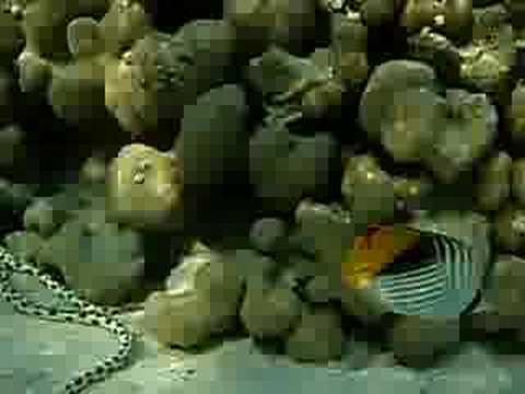 Snake on the reef, Rotes Meer allgemein,Ägypten