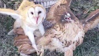 Hawk Attacked Barn Owl Live Episode #owl #barnowl