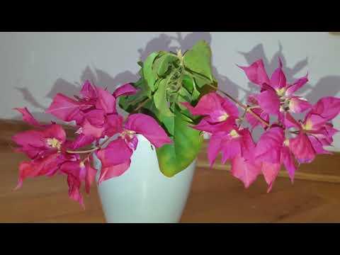 Бугенвиллея - секреты выращивания