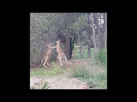 Разборки кенгуру