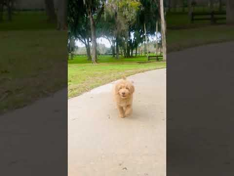 Wren F1b mini GoldenDoodle
