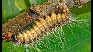 Sự biến thái của các loài côn trùng động vật P1