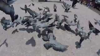 Pigeons in Kathmandu 720p 120fps