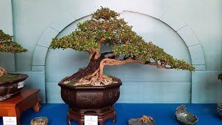 Những cây bonsai đoạt giải trong Lễ hội bonsai châu á thái bình dương lần thứ 15 tại TP Hồ Chí Minh