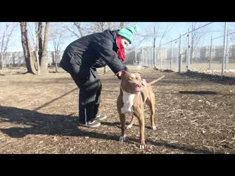 Rook, an adopted Pit Bull Terrier Mix in Chicago, IL