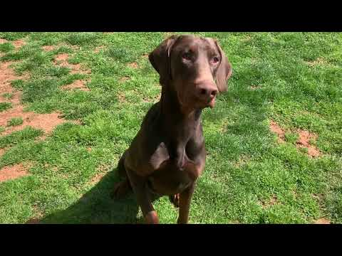 JD, an adopted Doberman Pinscher in Woodstock, MD_image-1