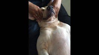 Doggie Massage - Phương pháp matxa cho cún cưng của bạn